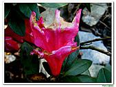 洋紅杜鵑-杜鵑花科-木本花卉:洋紅杜鵑09.JPG