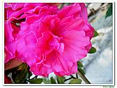 繞月杜鵑-杜鵑花科-木本花卉:繞月杜鵑17.jpg