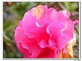 迷思杜鵑-杜鵑花科-木本花卉:迷思杜鵑5.jpg