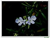 匍匐迷迭香-唇形科-香草植物-草本花卉-地被植物:匍匐迷迭香08.jpg