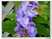 紫藤-豆科-藤蔓植物:紫藤18.jpg