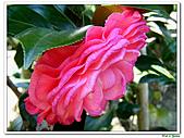玫瑰茶花-茶科-木本花卉:玫瑰茶花11.JPG