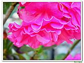 繞月杜鵑-杜鵑花科-木本花卉:繞月杜鵑18.jpg