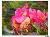 迷思杜鵑-杜鵑花科-木本花卉:迷思杜鵑6.jpg
