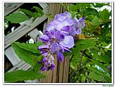紫藤-豆科-藤蔓植物:紫藤19.jpg
