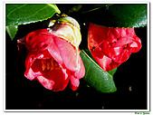 小紅茶花-茶科-木本花卉:小紅茶花11.JPG