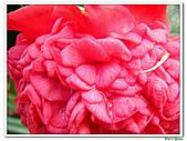 千層茶花-茶科-木本花卉:千層茶花10.JPG