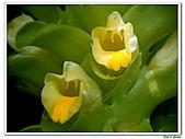 鬱金(薑黃)-薑科-球根植物:鬱金03.jpg