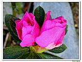 繞月杜鵑-杜鵑花科-木本花卉:繞月杜鵑19.jpg