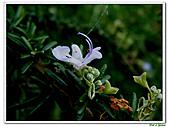 匍匐迷迭香-唇形科-香草植物-草本花卉-地被植物:匍匐迷迭香21.jpg