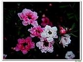 松紅梅-桃金孃科-木本花卉:松紅梅01.jpg