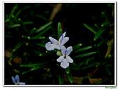 匍匐迷迭香-唇形科-香草植物-草本花卉-地被植物:匍匐迷迭香09.jpg