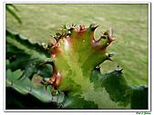 三角柱-仙人掌科-多肉植物-沙漠植物:三角柱02.jpg