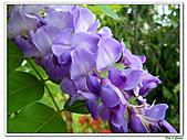 紫藤-豆科-藤蔓植物:紫藤20.jpg
