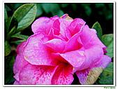 繞月杜鵑-杜鵑花科-木本花卉:繞月杜鵑20.jpg
