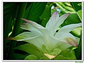 鬱金(薑黃)-薑科-球根植物:鬱金21.jpg