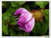 蔓性野牡丹-野牡丹科-藤蔓植物-地被植物:蔓性野牡丹01.jpg