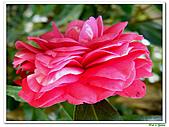 玫瑰茶花-茶科-木本花卉:玫瑰茶花12.JPG