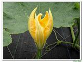 南瓜-葫蘆科-民生植物-藤蔓植物:南瓜02.jpg