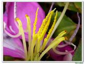蔓性野牡丹-野牡丹科-藤蔓植物-地被植物:蔓性野牡丹19.jpg
