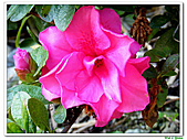 繞月杜鵑-杜鵑花科-木本花卉:繞月杜鵑21.jpg