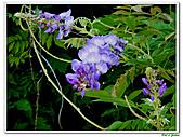 紫藤-豆科-藤蔓植物:紫藤21.jpg