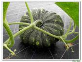 南瓜-葫蘆科-民生植物-藤蔓植物:南瓜03.jpg