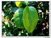 小紅茶花-茶科-木本花卉:小紅茶花12.JPG