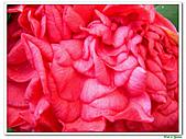 千層茶花-茶科-木本花卉:千層茶花11.JPG