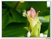 鬱金(薑黃)-薑科-球根植物:鬱金11.jpg