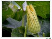 南瓜-葫蘆科-民生植物-藤蔓植物:南瓜04.jpg