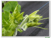 南瓜-葫蘆科-民生植物-藤蔓植物:南瓜05.jpg