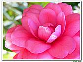 玫瑰茶花-茶科-木本花卉:玫瑰茶花13.JPG