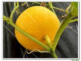 南瓜-葫蘆科-民生植物-藤蔓植物:南瓜06.jpg