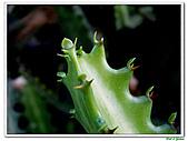 三角柱-仙人掌科-多肉植物-沙漠植物:三角柱03.jpg