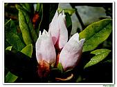 單瓣杜鵑-杜鵑花科-木本花卉:單瓣杜鵑1.JPG