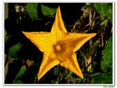 南瓜-葫蘆科-民生植物-藤蔓植物:南瓜07.jpg