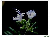 匍匐迷迭香-唇形科-香草植物-草本花卉-地被植物:匍匐迷迭香10.jpg