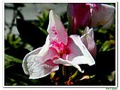 單瓣杜鵑-杜鵑花科-木本花卉:單瓣杜鵑2.JPG
