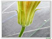 南瓜-葫蘆科-民生植物-藤蔓植物:南瓜09.jpg