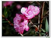 松紅梅-桃金孃科-木本花卉:松紅梅02.jpg