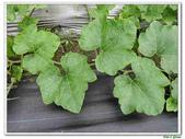 南瓜-葫蘆科-民生植物-藤蔓植物:南瓜10.jpg