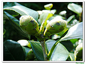 小紅茶花-茶科-木本花卉:小紅茶花13.JPG