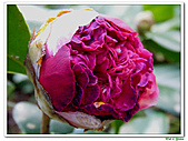 千層茶花-茶科-木本花卉:千層茶花12.JPG