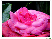 玫瑰茶花-茶科-木本花卉:玫瑰茶花14.JPG