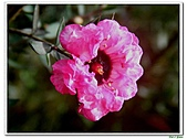 松紅梅-桃金孃科-木本花卉:松紅梅03.jpg