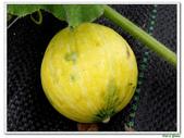 南瓜-葫蘆科-民生植物-藤蔓植物:南瓜12.jpg