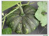 南瓜-葫蘆科-民生植物-藤蔓植物:南瓜13.jpg