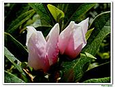 單瓣杜鵑-杜鵑花科-木本花卉:單瓣杜鵑4.JPG