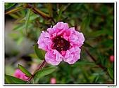 松紅梅-桃金孃科-木本花卉:松紅梅04.jpg